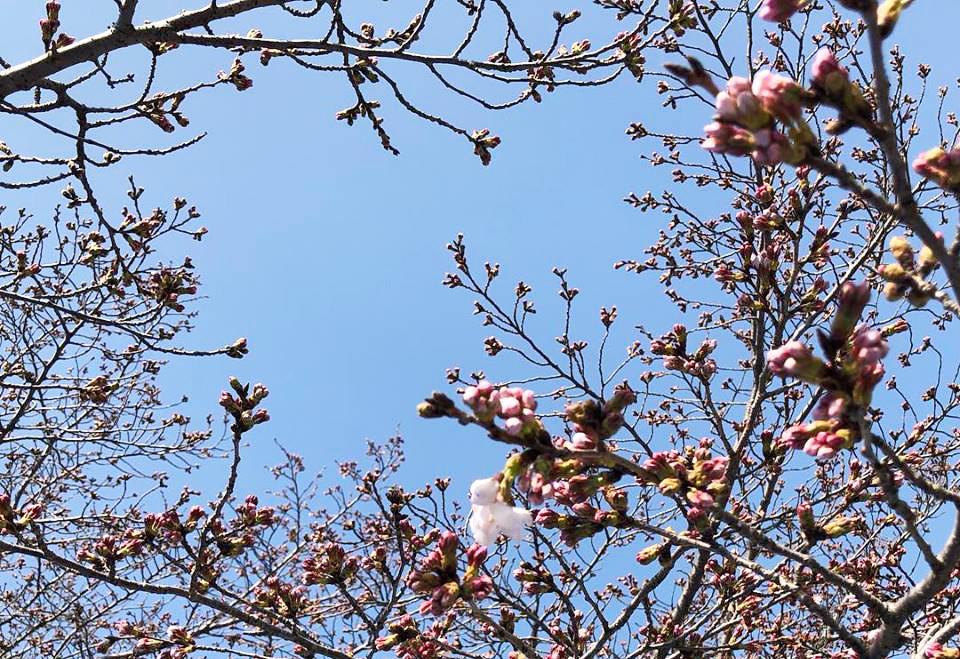 コモリバ桜